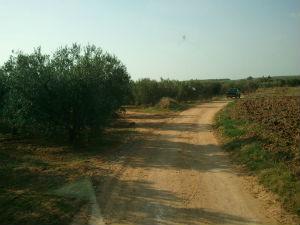Maslinjaci u okolini sela