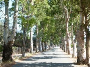 Avenija eukaliptusa